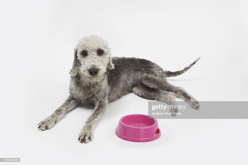 Bedlington Terrier dog with pink food bowl