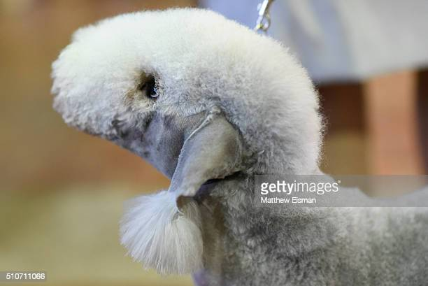 Bedlington Terrier waits in the grooming area during day two of competiton at the Westminster Kennel Club 140th Annual Dog Show at Pier 92/94 on...