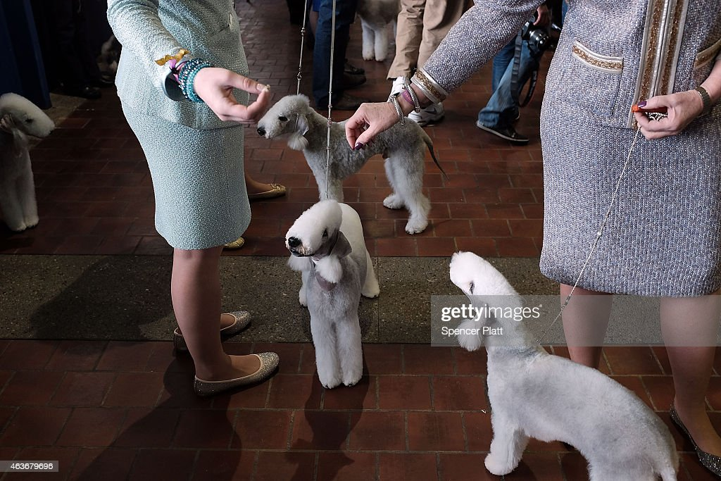 Bedlington Terriers are viewed at the Westminster Kennel Club Dog Show on February 17 2015 in New York City The show which is in its 139th year and...