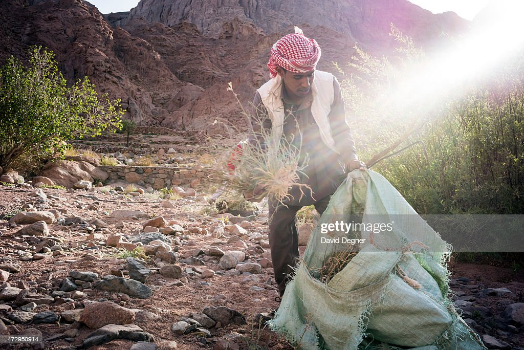 A Bedouin guide who rents out his camel to carry supplies and tourists through the mountains of South Sinai on April 17, 2015 near St. Catherine, Egypt. He is gathering weeds and thorns to feed his camel. In a normal day he receives 125 EGP a day, about $16. Bedouins guides in the Sinai peninsula face stiff competition and many Sinai Bedouins are unemployed due to the lack of employment opportunities.