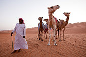 bedouin man and camels in wahiba sands