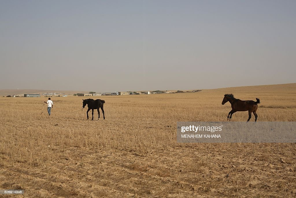A Bedouin man leads his horses in the southern Israeli Bedouin town of Kuseife in the Negev desert on May 1 2016. / AFP / MENAHEM