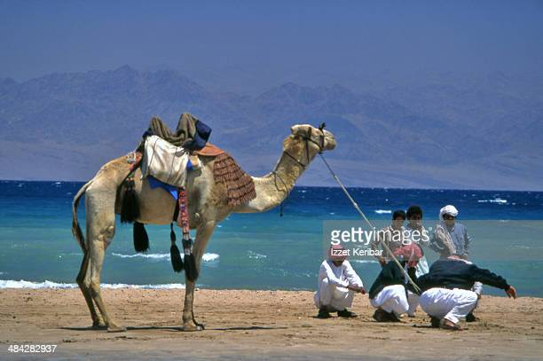 Bedouins and  camel  of the Sinai