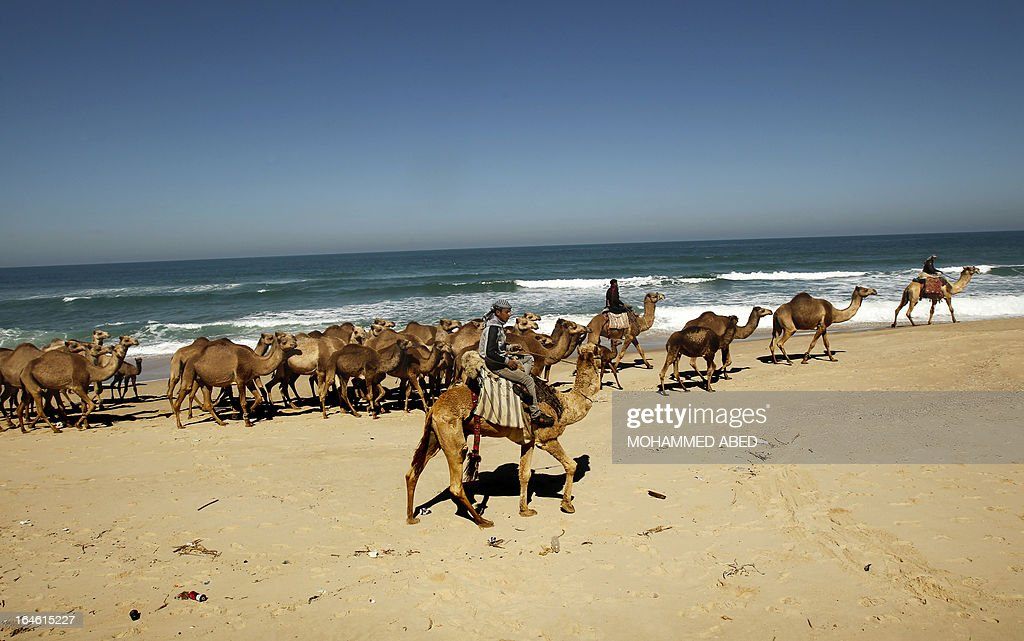 Bedouins shepherd their camels along the beach from Deir Al-Balah in the central Gaza Strip towards Gaza City on March 25, 2013. The camels are driven to fertile fields to graze and return home at the end of the day. AFP PHOTO/MOHAMMED ABED