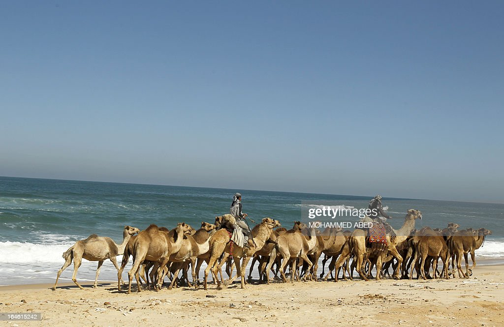 Bedouins shepherd their camels along the beach from Deir Al-Balah in the central Gaza Strip towards Gaza City on March 25, 2013. The camels are driven to fertile fields to graze and return home at the end of the day.