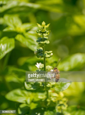 Bee and Basil : Stock Photo