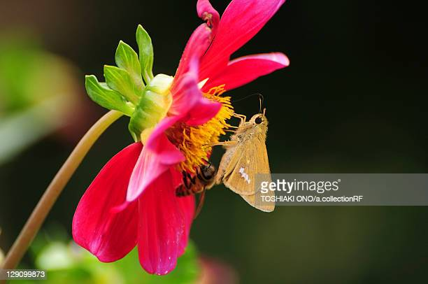 Bee and Skipper Butterfly on Dahlia Flower