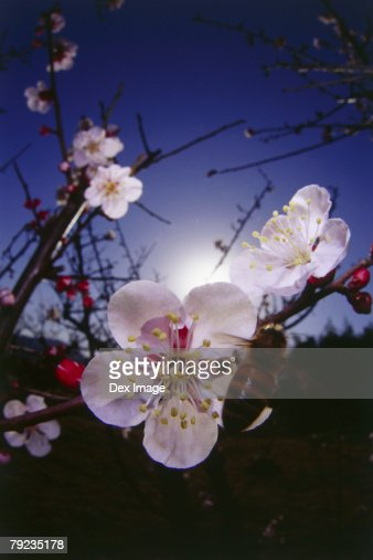 Bee approaching Cherry blossoms, rear view : Stock Photo