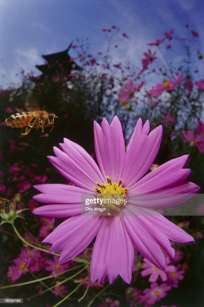 Bee approaching Cosmos flower, close up : Stock Photo