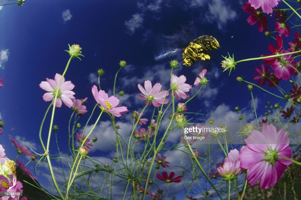 Bee approaching cosmos flowers, close up : Stock Photo