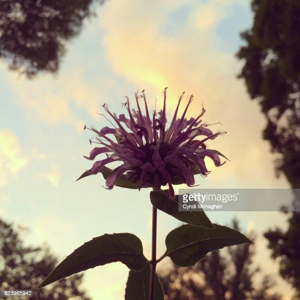 Bee Balm Flowers and Sunset