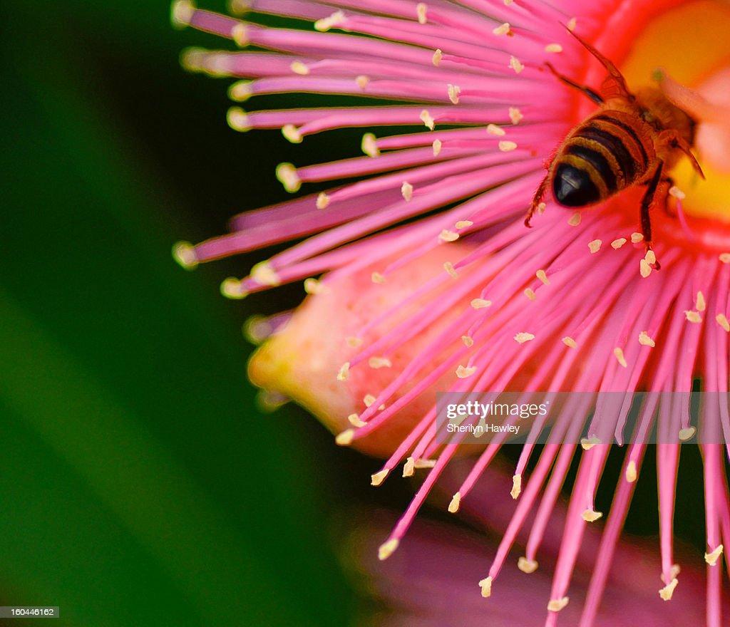 Bee bum : Stock Photo
