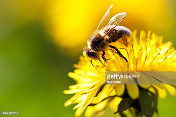 Bee collecting nectar from a dandelion