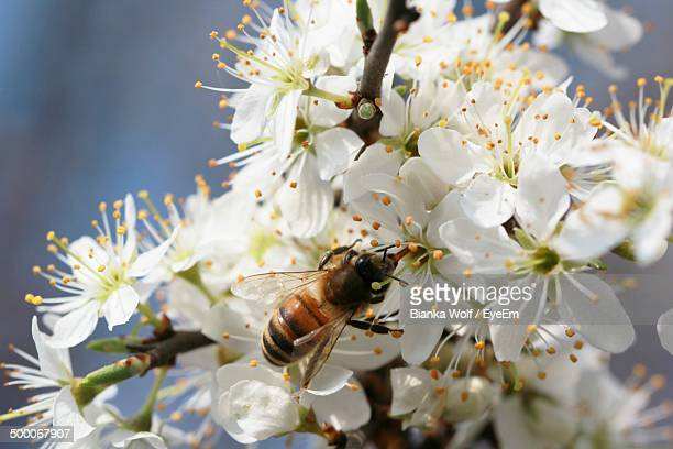 Bee collecting nectar from cherry blossom flowers
