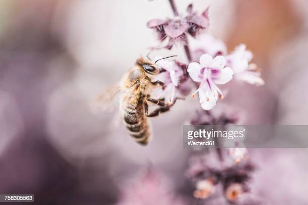 Bee collecting pollen on basil blossom