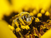 Bee covered with pollen on a yellow flower
