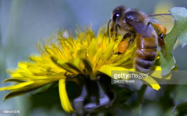 A bee collects nectar from a flower in western Sydney on May 25 2013 AFP PHOTO / SAEED KHAN