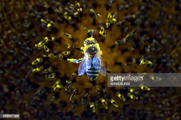 A bee collects pollen from a sunflower on September 18 2015 in Dresden eastern Germany AFP PHOTO / DPA / ARNO BURGI GERMANY OUT