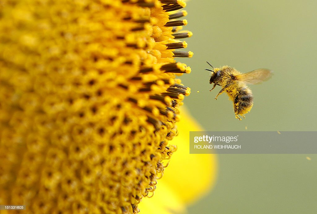 A bee collects pollen from a sunflower on September 6, 2012 in Neufeld, western Germany. Meteorologists forecast rising tempertures up to 27 degreec Celsius and sunshine for the upcoming weekend.