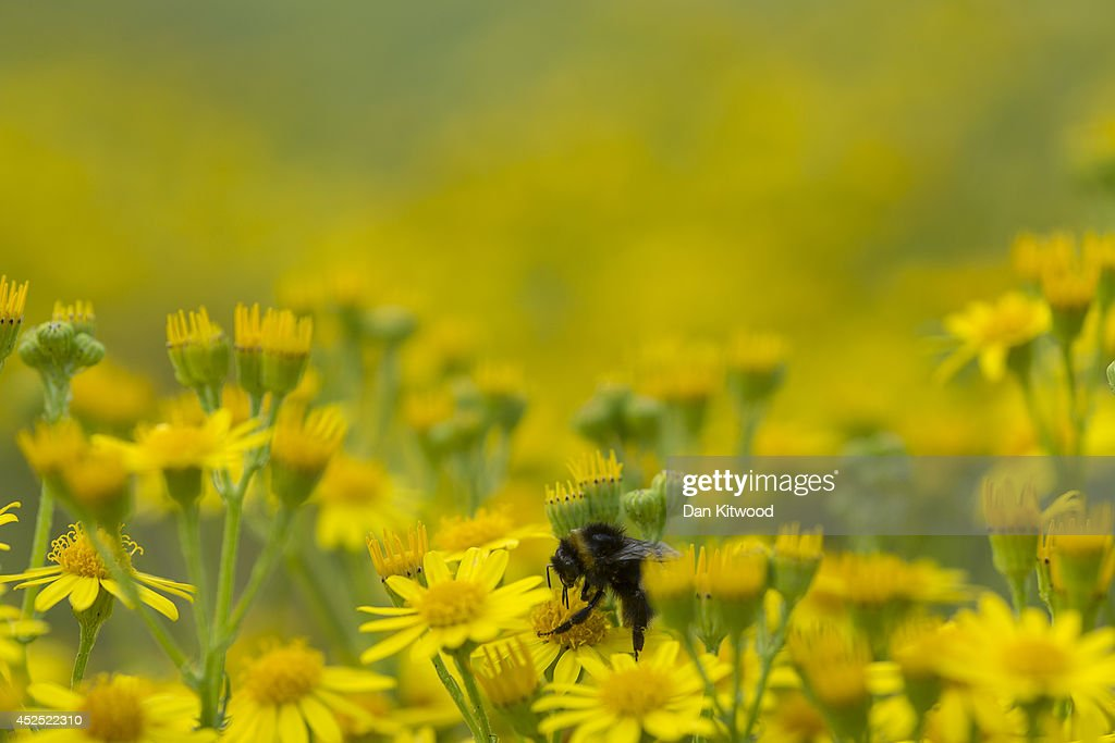 A bee collects pollen from Ragwort in Ladywell Park on July 21, 2014 in London, England. Many insects can be seen emerging during the summer months in local urban parks in the heart of the capital. As flowers come in to full bloom, butterflies, moths, bees and other insects play a vital role in the food chain by pollinating plants, and providing a source of food for predators such as bats.