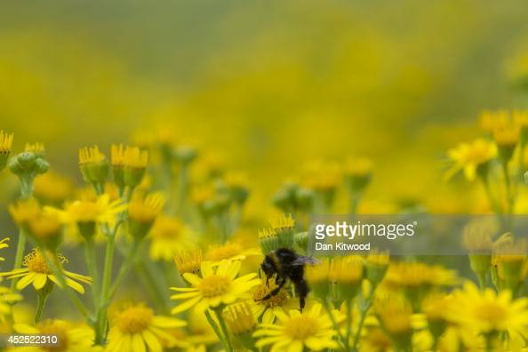 A bee collects pollen from Ragwort in Ladywell Park on July 21 2014 in London England Many insects can be seen emerging during the summer months in...
