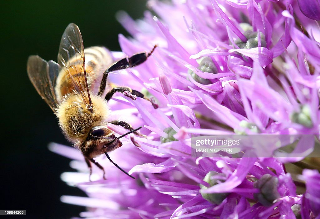 A bee collects pollen on a blossom in Duesseldorf, western Germany, on June 2, 2013.