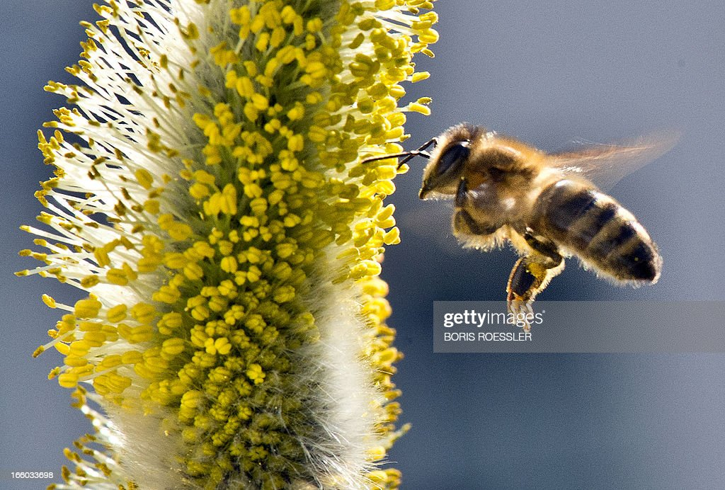 A bee collects pollen on a pussy willow on April 7, 2013 in Frankfurt am Main, western Germany. AFP PHOTO / BORIS ROESSLER GERMANY OUT