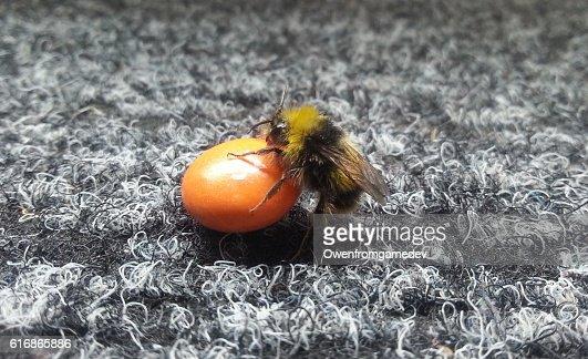 Bee Crawls onto Candy : Stock Photo