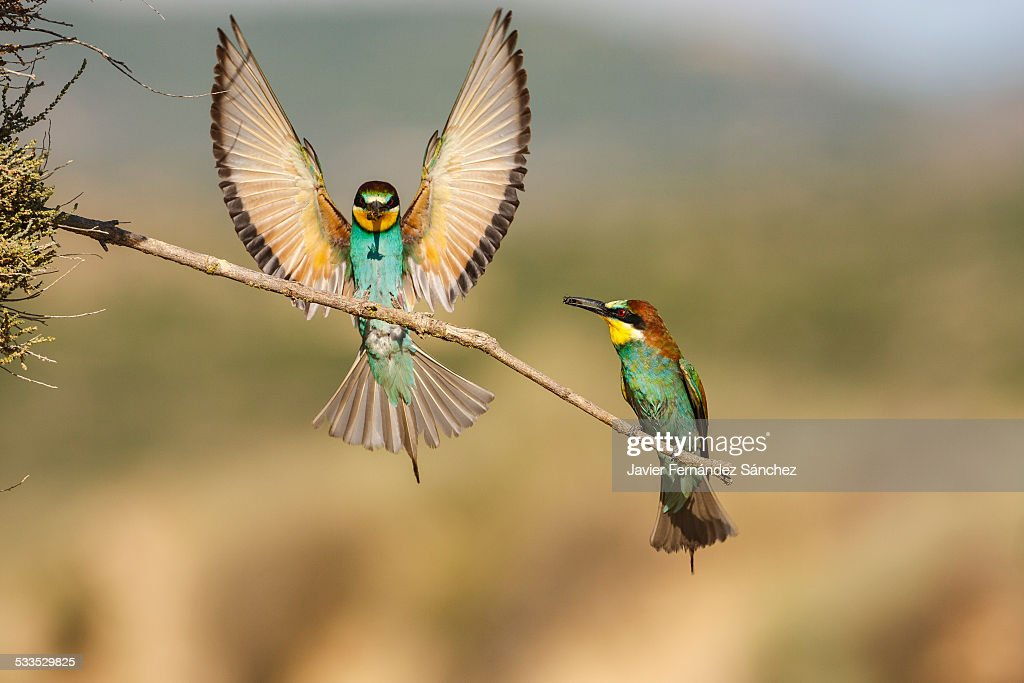 Bee eater (Merops apiaster) landing on a branch