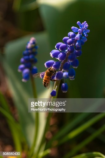 Bee feeding in a Garden : Stockfoto