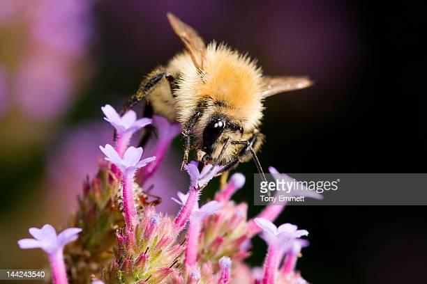 Bee feeding on Verbana flowers