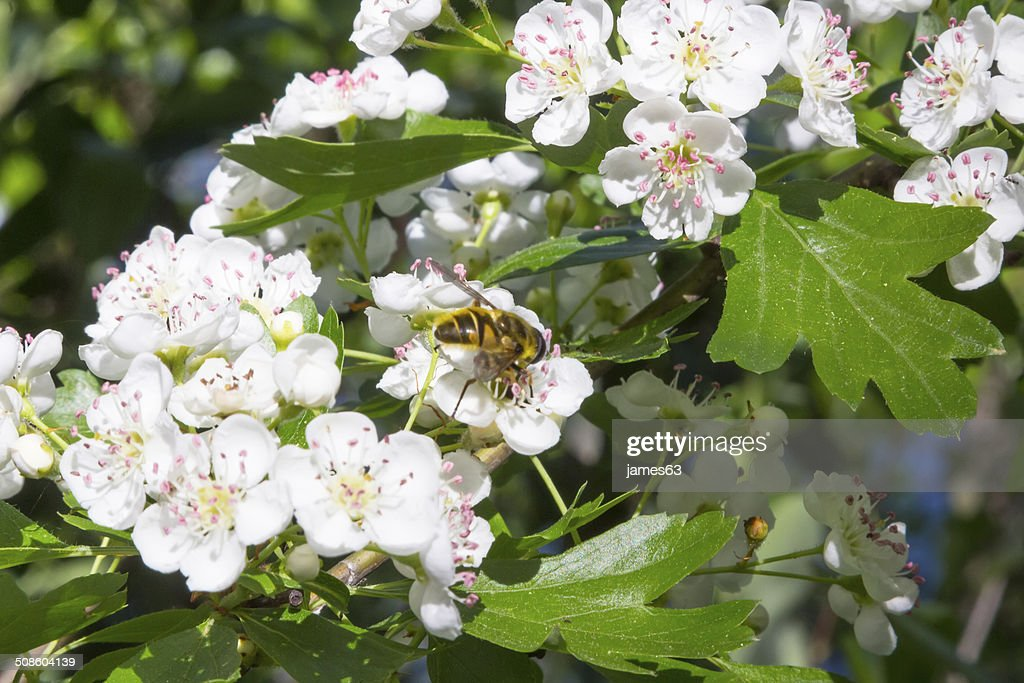 bee feeds on a bush of white flowers : Stock Photo