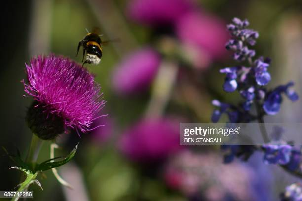 A bee flies from a flower in the 'Morgan Stanley Garden' at the 2017 Chelsea Flower Show in London on May 22 2017 The Chelsea flower show held...