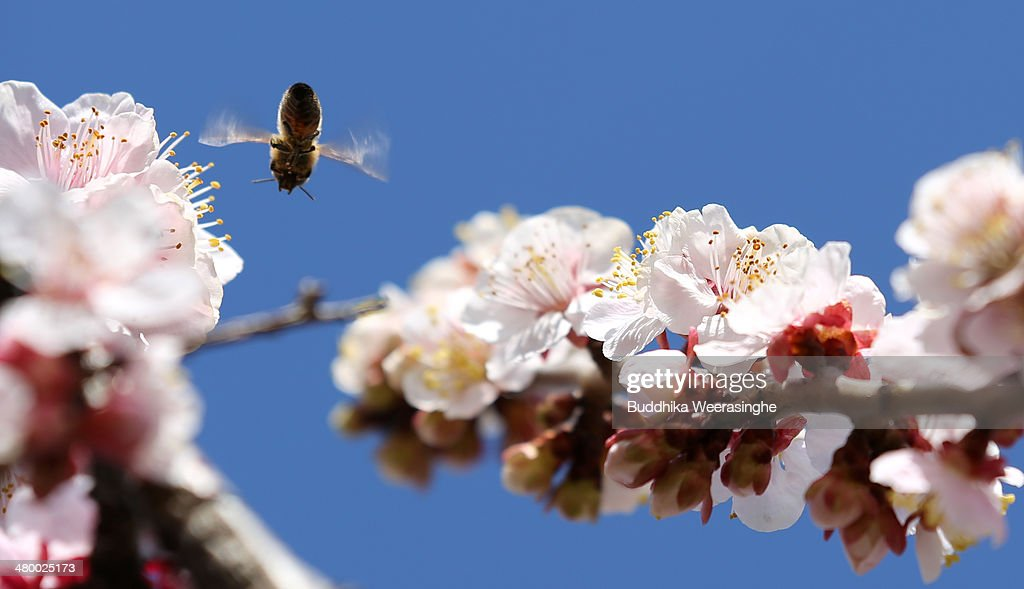A bee flies near full blooming Plum blossoms at Ayabeyama mountain on March 22, 2014 in Tatsuno, Japan. About 20,000 Japanese plum trees of different varieties are currently in full bloom on Ayabeyama mountain.