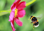 A British Bee in flight
