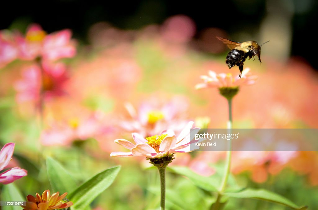 Bee flying above flowers. : Stock Photo