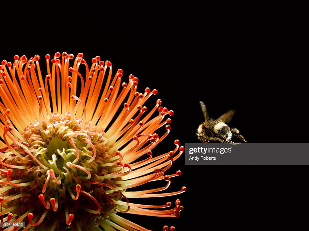 Bee flying near blooming flower : Stock Photo