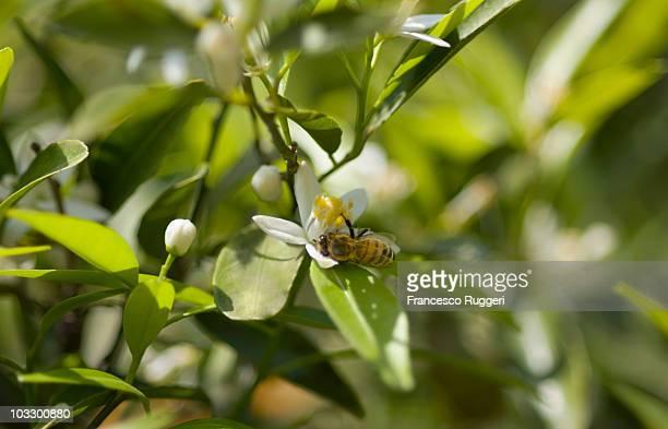 Bee gathering nectar from orange blossom