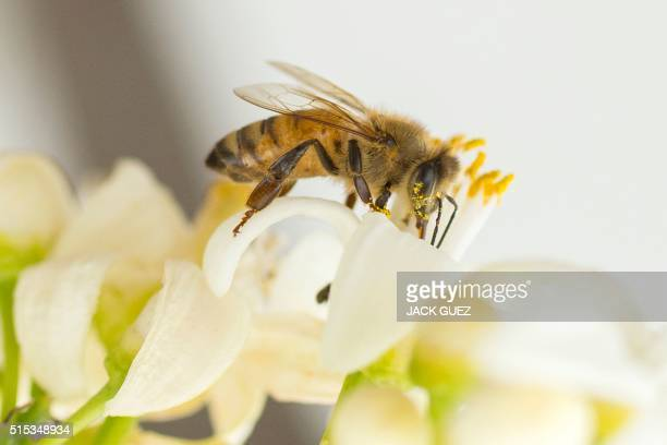 A bee gathers honey from an orange blossom in the Israeli Mediterranean coastal city of Netanya on March 13 2016 / AFP / JACK GUEZ