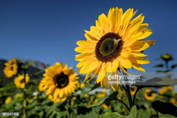 A bee gathers nectar on a sunflower on October 15 2017 in Collombey western Switzerland / AFP PHOTO / Fabrice COFFRINI