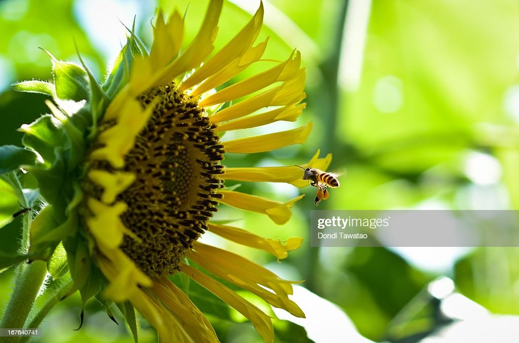 A bee harvests nectar on a sunflower on April 27, 2013 at a State-run University in Quezon City, Philippines. Despite small rainshowers, temperatures soared from 35 to 36.1 degrees in parts of the Philippines as State weather forecasters project hotter days ahead and advised residents to stay indoors during afternoon to avoid heat stroke.