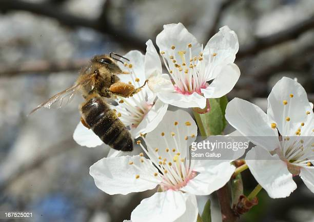 A bee harvests pollen from the flowers of a wild cherry tree near Berlin on April 25 2013 in Blankenfelde Germany Local beekeepers claim their yearly...