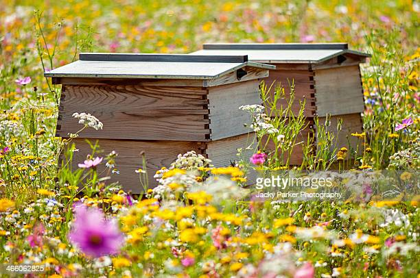 Bee hives & wildflowers in the field of dreams
