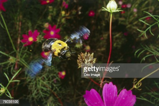 Bee hovering above plants and cosmos flowers : Stock Photo