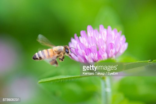 Bee Hovering By Fresh Pink Flower In Garden