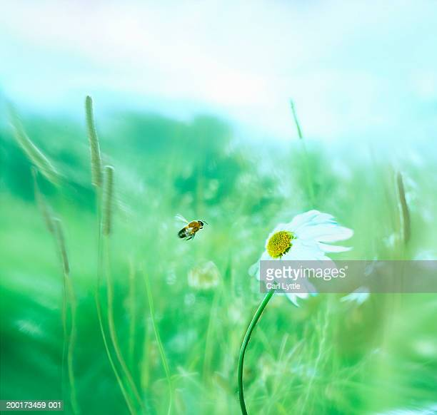 Bee hovering in air by daisy (digital enhancement)