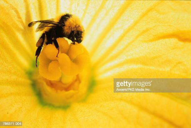Bee (Apidae) inside yellow flower, close-up
