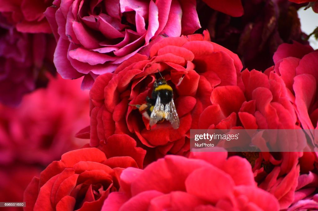 photos et images de bee in red roses in ankara | getty images
