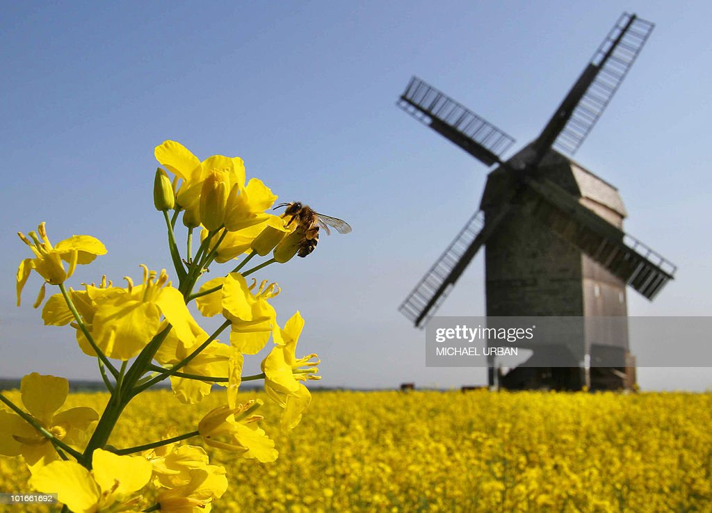 A bee is sitting on a rapeseed flower near a windmill on May 21, 2010 in Ketzuer, eastern Germany, as the sun makes its first appearance in the region for days. The windmill is one of about one thousand participating in the traditional 'German Mill Day' during which visitors can discover ancient mills and windmills.