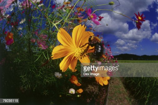 Bee landing on yellow cosmos flower : Stock Photo
